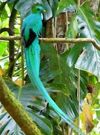 Resplendent Quetzal Boquete Panama Quetzales