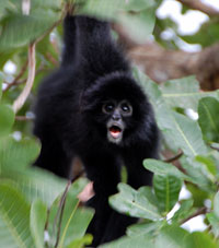 Monkey Boquete Panama