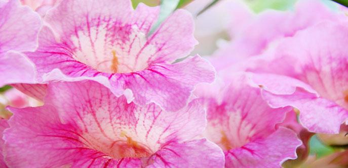 boquete pink