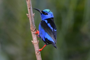 Male Red-Legged Honeycreeper at Boquete Garden Inn