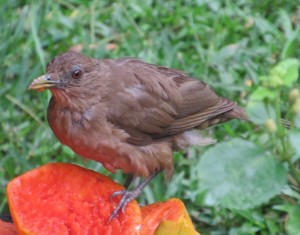 Clay-Coloured Thrush at Boquete Garden Inn's Breakfast with the Birds
